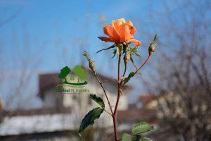 trandafir in gradina camin batrani